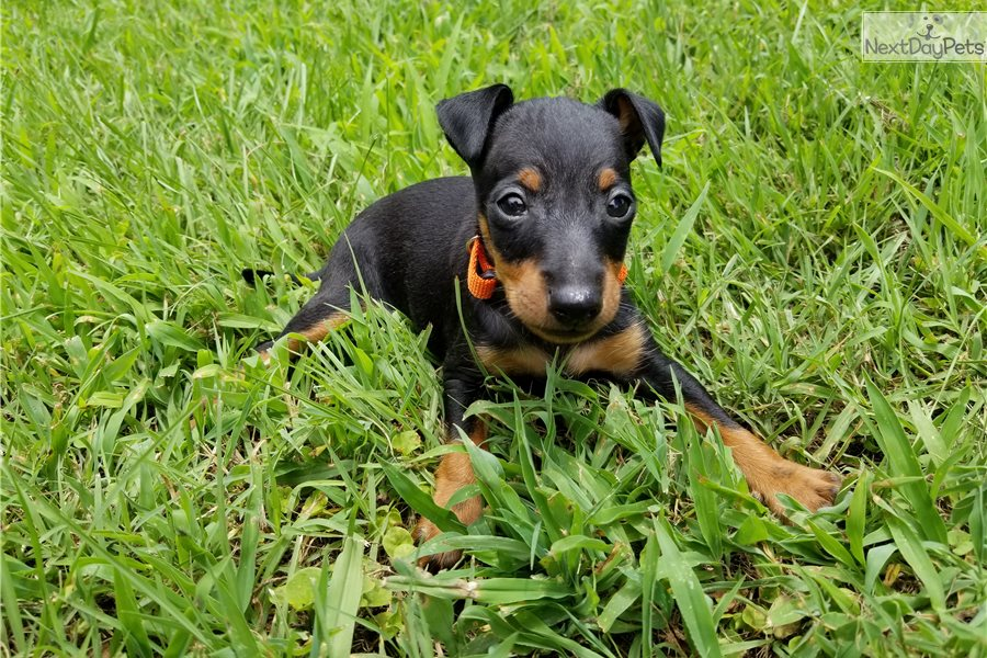 Thor Manchester Terrier Toy Puppy For Sale Near Charlotte North