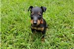 Picture of *Thor* AKC Toy Manchester Terrier