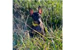 Picture of AKC Toy Manchester Terrier