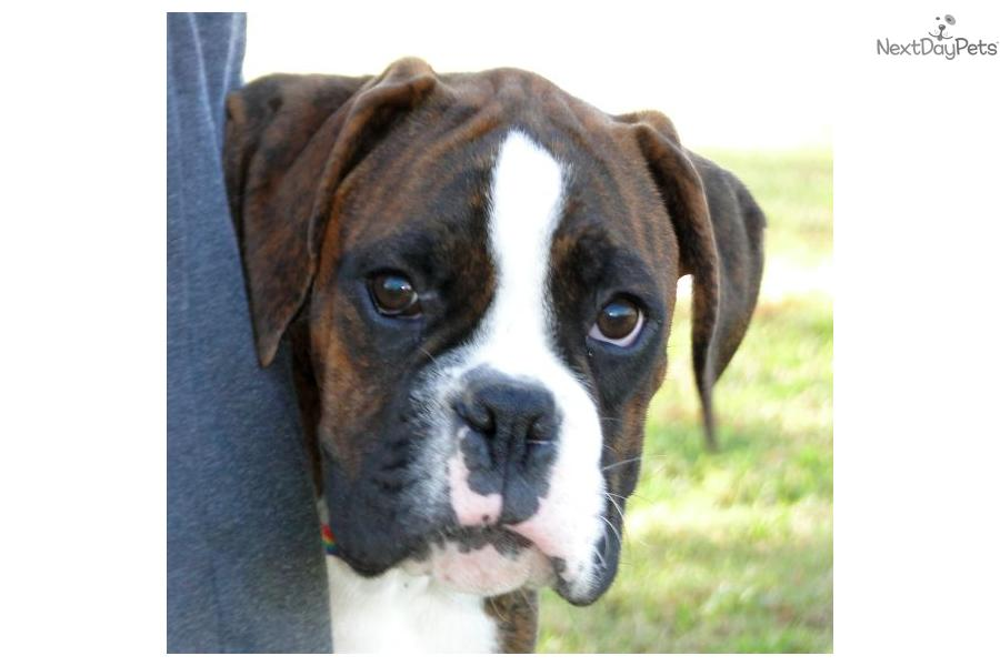 Boxer For Sale For 1 250 Near Tulsa Oklahoma 0b8228fb 44e1
