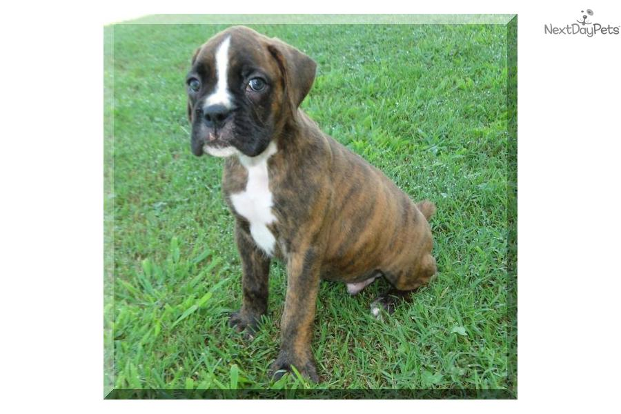 boxers puppies for sale in oklahoma boxer puppy for sale near tulsa oklahoma 5232b9dc 2951 1388