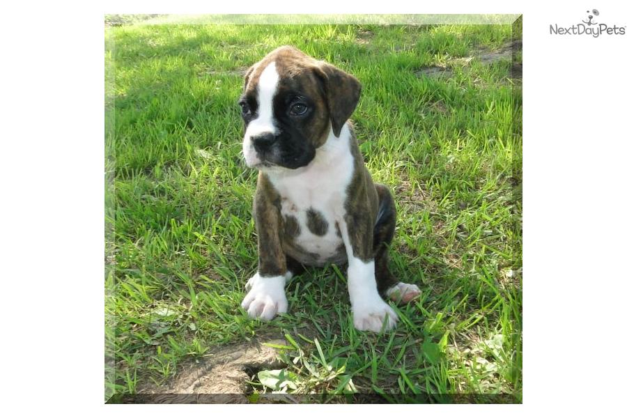 boxers puppies for sale in oklahoma boxer puppy for sale near tulsa oklahoma 06ffd63c 3db1 6424