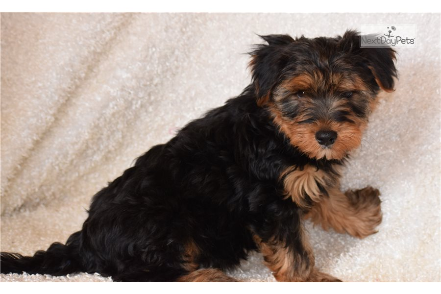 Picture of a Dorkie