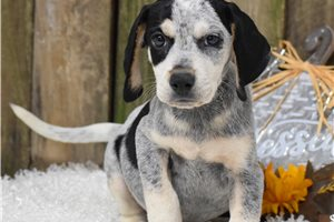 Bluetick Coonhounds for sale