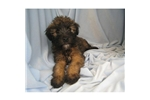 Picture of a Soft Coated Wheaten Terrier Puppy