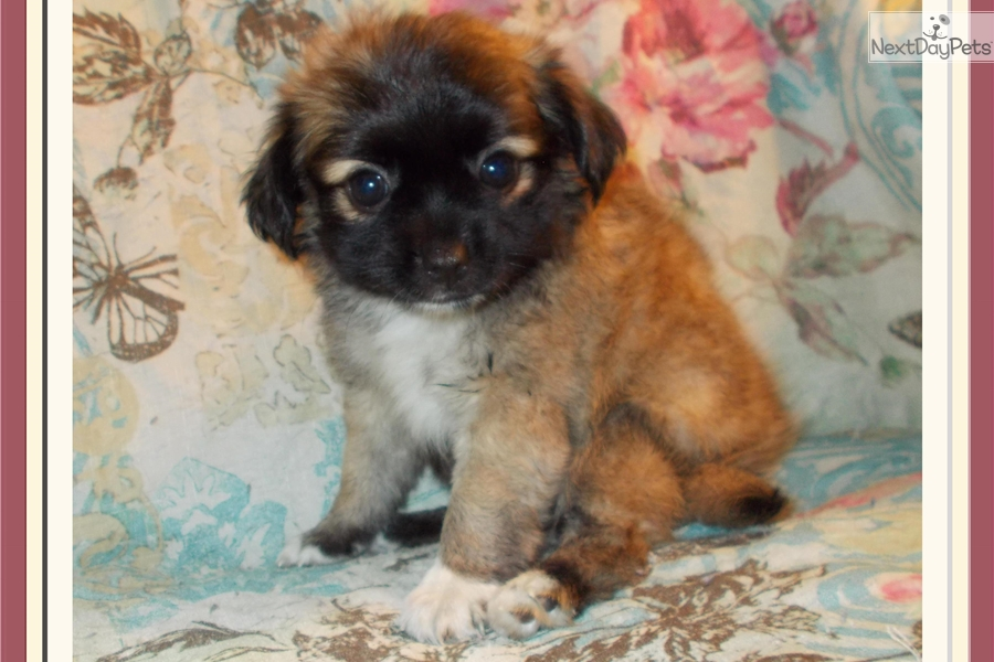Cookie Shih Tzu Puppy For Sale Near Tallahassee Florida 7adee666