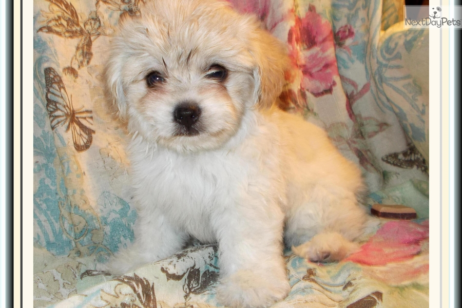 Cystal Shih Tzu Puppy For Sale Near Tallahassee Florida 72a6097f