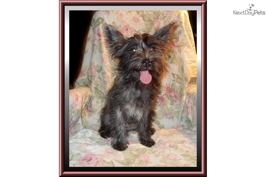 Twilight: West Highland White Terrier - Westie puppy for sale near