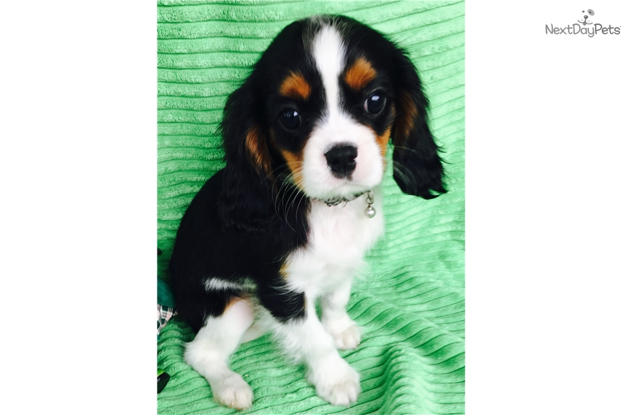 4 6 Year Male Cavalier King Charles Spaniel: Cavalier King Charles Spaniel Puppy For Sale Near Gulfport