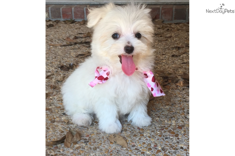 maltese puppies for sale in ms maltese puppy for sale near gulfport biloxi mississippi 8505