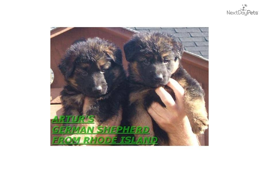 german shepherd puppies ri puppies for sale from akc west german shepherds from rhode 9711