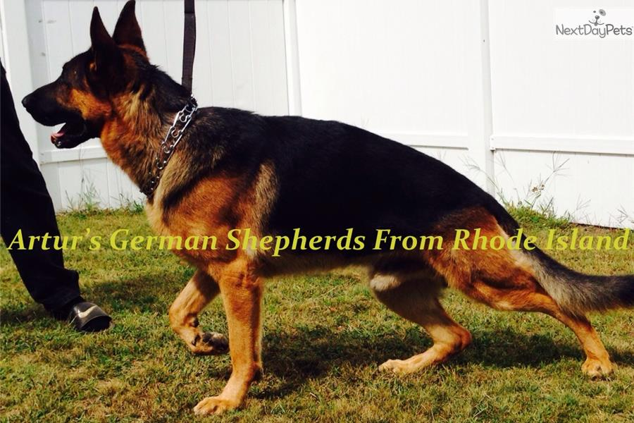 german shepherd puppies ri puppies for sale from akc west german shepherds from rhode 8195