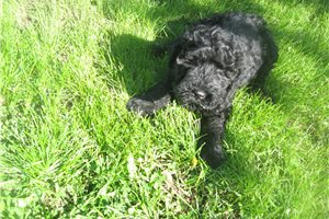 Kerry Blue Terriers for sale