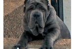 Featured Breeder of Neapolitan Mastiffs with Puppies For Sale