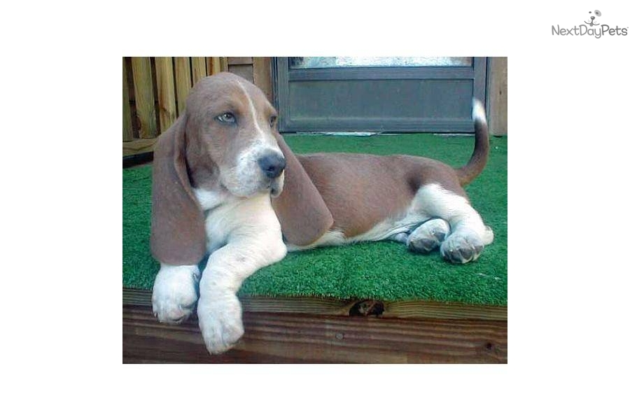 Puppies For Sale From Harmony Hounds Member Since March 2005