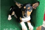 "Picture of ""Felix"" - Tri male basenji puppy"