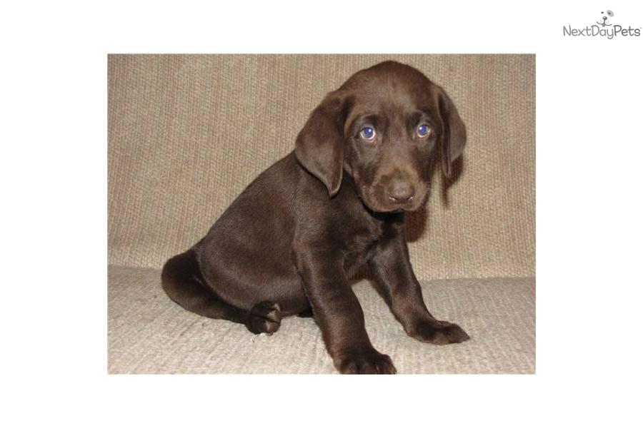 Labrador Retriever 4 Sale Meet Chocolate Females...