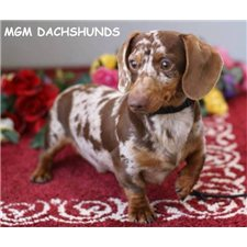 View full profile for MGM DACHSHUNDS