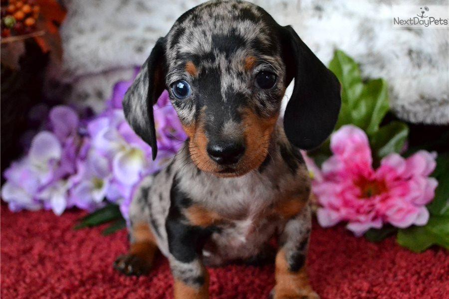 Black Dapple: Dachshund, Mini puppy for sale near Spokane ...  Black Dapple: D...