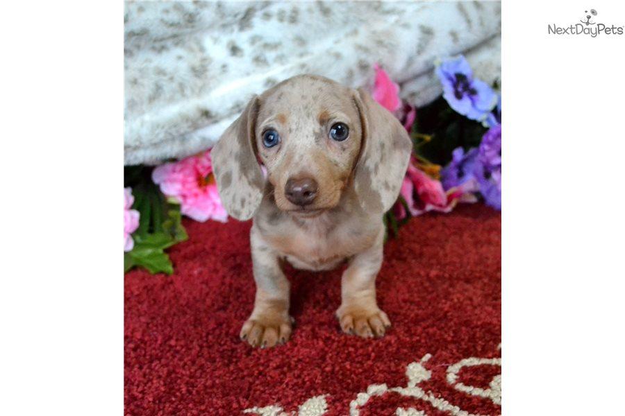 Isabella Dapple: Dachshund, Mini puppy for sale near Spokane