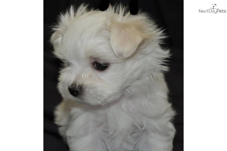 Video Meet Quot Yoshie Quot A Cute Maltese Puppy For Sale For