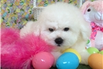 Featured Breeder of Bichon Frises with Puppies For Sale