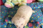 Picture of Izak - Male Bichon Frise