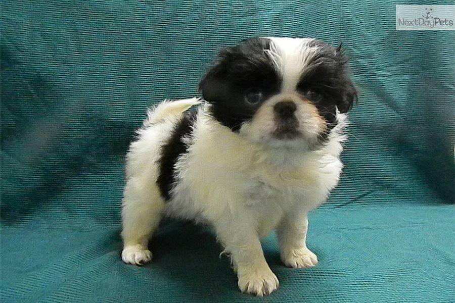 Skippy | Japanese Chin puppy for sale near Stillwater ...