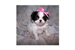 Picture of a Japanese Chin Puppy