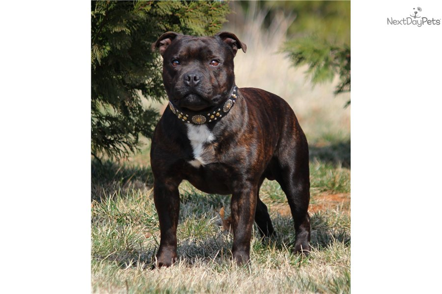 english staffordshire terrier for sale staffordshire bull terrier puppy for sale near lynchburg 2463