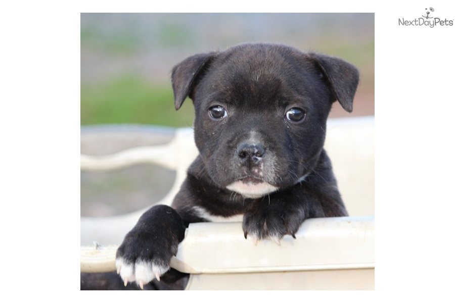 english staffordshire terrier for sale staffordshire bull terrier puppy for sale near lynchburg 3414