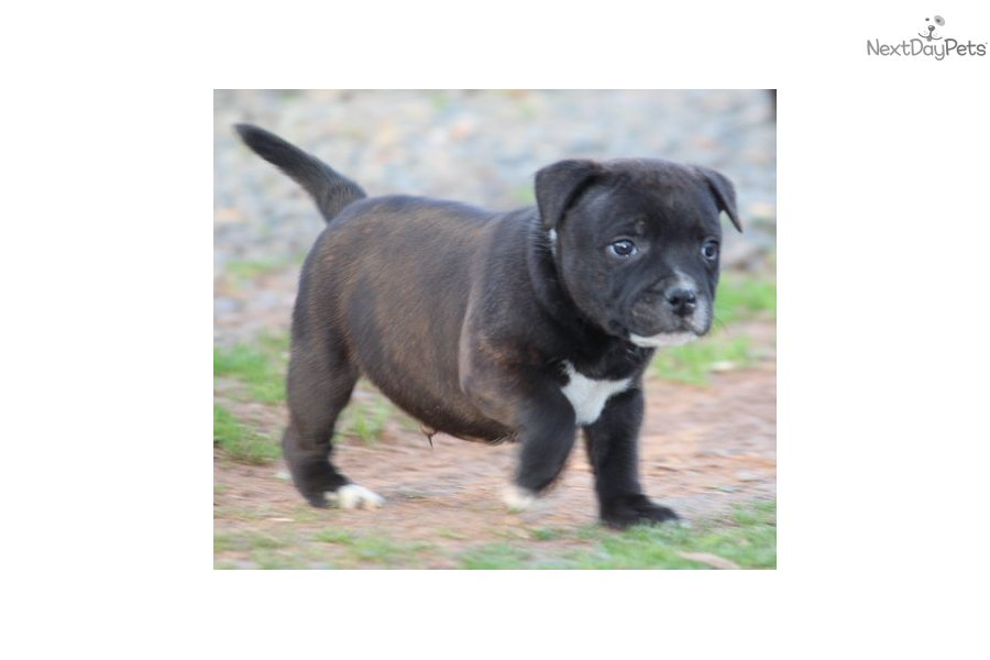 english staffordshire terrier for sale staffordshire bull terrier puppy for sale near lynchburg 3045