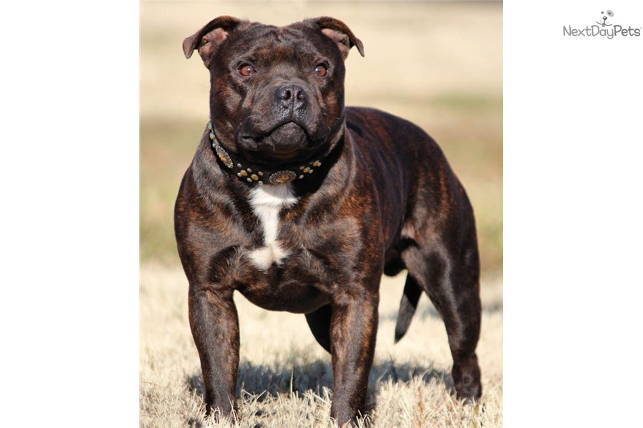 english staffordshire terrier for sale staffordshire bull terrier puppy for sale near lynchburg 6600