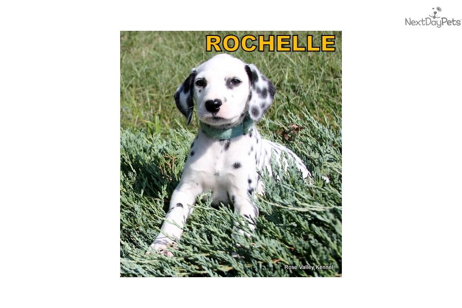 Rochelle Dalmatian Puppy For Sale Near Kansas City Missouri