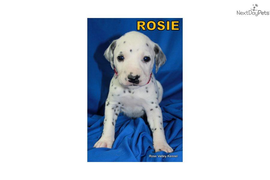 Females: Dalmatian puppy for sale near Kansas City ...