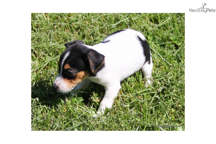 Tyra: Jack Russell Terrier puppy for sale near Kansas City