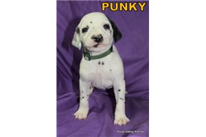Picture of AKC Punky