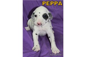 Picture of AKC Peppa