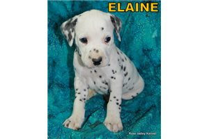 Picture of AKC Elaine