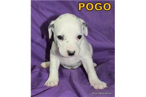 Picture of AKC Pogo