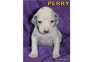 Picture of AKC Perry