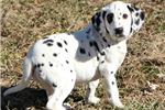 Picture of AKC Laura