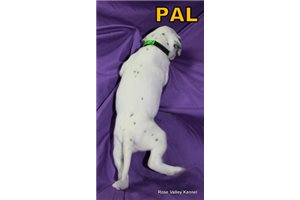 Picture of AKC Pal