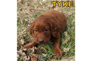 Picture of AKC Tyke