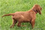 Picture of AKC Weston