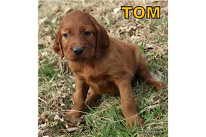Picture of AKC Tom