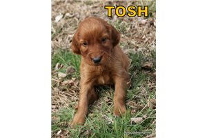 Picture of AKC Tosh