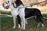 Featured Breeder of Great Danes with Puppies For Sale