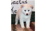 CURLEY'S FEMALE #3 | Puppy at 7 weeks of age for sale