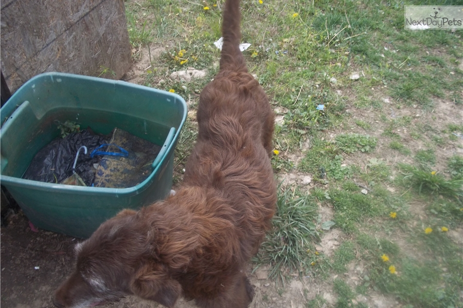 Doodles Labradoodle Puppy For Sale Near Western Ky Kentucky